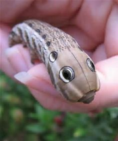 And if that's not enough to make you wonder how this evolved, look at the moth once hatched. Sphinx Moth Caterpillar, Caterpillar Insect, Beautiful Bugs, Beautiful Butterflies, Beautiful Creatures, Animals Beautiful, Cool Bugs, Bugs And Insects, Weird Insects