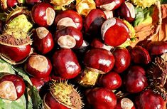 Free Image on Pixabay - Chestnut, Buckeye, Fruits, Red Troubles Digestifs, Perennial Vegetables, Roasted Chestnuts, Conkers, Can Dogs Eat, Dog Eating, Photo Postcards, For Your Health, Glow