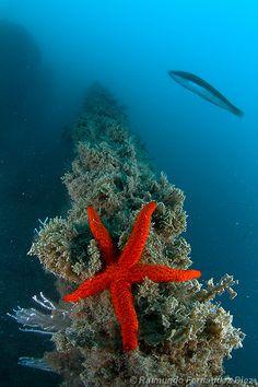 Estrela do mar / Starfish Under The Water, Life Under The Sea, Underwater Creatures, Underwater Life, Ocean Creatures, Beneath The Sea, Salt Water Fish, Beautiful Ocean, Sea And Ocean