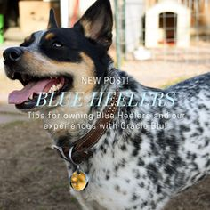 Tips for owning Blue Heelers, and our experiences with Gracie Blu! Small Puppies, Cute Dogs And Puppies, Blue Heelers, Cattle Dogs, Cutest Dogs, Companion Dog, Different Dogs, Australian Cattle Dog, Dog Care