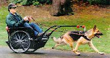 German Shephard Dog pulling a cart