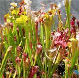 Sarracenia Starter Assortment (3 selected potted hybrids near mature age)