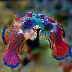 Poisson Mandarin, Mandarin Fish, Underwater Creatures, Ocean Creatures, Cool Sea Creatures, Beautiful Sea Creatures, Animals Beautiful, Colorful Fish, Tropical Fish