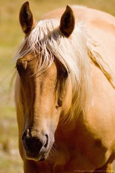 I love Palomino quarter horses.  My Reagan is a palomino and there is no greater love or devotion that he gives to me.