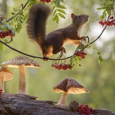 Red squirrel on rowan branch by Geert Weggen on 500px