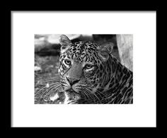 Leopard Painted Black And White framed print by Judy Vincent. cats, animals, wildlife, zoo, nature