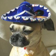 The Mariachi rides alone.    cute-animals-in-sombreros-008.jpg (530×530)