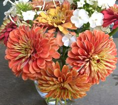 Benary's Giant Salmon Rose Zinnia Large Peach Zinnias Great for Cut Flower Gardens and Butterfly Gardens