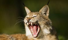 Farmers in a fury over lynx release