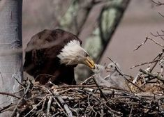 Baby Bald Eagle, Canvas Painting Projects, Van Wert, Eagle Nest, Forest City, Golden Eagle, Endangered Species, Bird Watching, Eagles