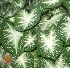Fancy Leaf Caladium Caladium Stardust from Netherland Bulb Big Leaf Plants, Foliage Plants, Plant Leaves, Potted Plants, Tropical Garden, Tropical Plants, Orquideas Cymbidium, Plants Are Friends, Shade Plants