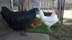 I have written a post similar to this one about the same girl, but now she's seven months old and much, MUCH bigger. Onxy, my black pullet, is bigger than. Meat Chickens