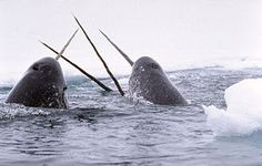 The narwhal is a medium-sized toothed whale that lives year-round in the Arctic. Narwhal are found primarily in the Canadian Arctic and Greenlandic waters. Especie Animal, Animal Facts, Mundo Animal, Narwhal Tusk, The Narwhal, Baby Narwhal, Polar Animals, Marine Biology, Whales