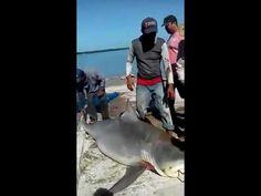 Pescadores de Sabancuy atrapan a cuatro tiburones