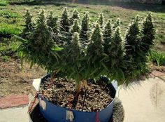 Your complete guide for growing Elite Marijuana indoor! Growing essentials — Lights, Seeds, Clones — everything we know about best cannabis cultivation wiki Marijuana Plants, Cannabis Plant, Cannabis Oil, Weed Pictures, Weed Pics, Growing Greens, Cannabis Growing, Growing Weed, Medical Cannabis
