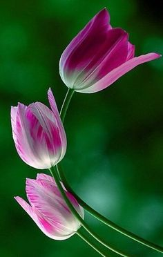 pink tulips | Very cool photo blog
