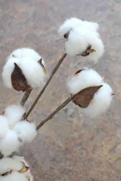 SHIPS FREE 3 12 Cotton Boll Stems Natural Cotton