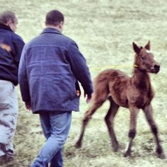 American Wild Horse Preservation Campaign- Governor Brian Sandoval, the Nevada Department of Agriculture treats the historic & iconic Virginia Range mustangs like feral pests, inhumanely capturing & removing them from on the range. Dumping them at livestock auction, where kill buyers purchase horses to ship to slaughterhouses in Canada & Mexico. State refuses to work directly with local advocacy groups, forcing them to outbid the kill buyers to save the captured horses from slaughter.