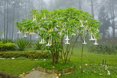 Jestli nemůžete odolat překrásným květům durmanu, zasaďte ho na místo, kam nemohou děti. Otrávit se totiž lze pouhým dotykem – jed proniká do těla i přes kůži, stačí chvíli mnout listy nebo si hrát s květy;Destinyweddingstudio, shutterstock.com