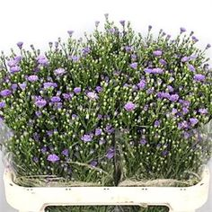Aster casamare, also known as September Flowers, is a Lilac cut flower. 2018 Wedding Trend: Ultra Violet Purple. For lilac and purple wedding flowers to suit your colour scheme, visit our website at www.trianglenursery.co.uk/fresh-flowers!
