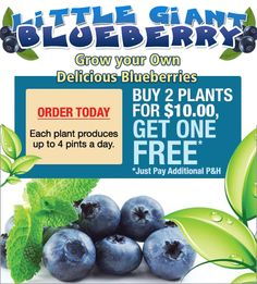 for more go to http://asseenonpc.directtrack.com/z/7329/CD19841  #Harvest #lush, giant blueberries from home. These blueberry #plants virtually grow themselves. #Blueberry plant that grows in #sun or #shade. Blueberry #plant that #produces 4 #pints of #juicy #berries #daily. Delicious, #sweet blueberries ever #developed. Blueberry plant that grows to 8 #feet #tall. Get 16,000 blueberries from a single plant. Grow your own #delicious, giant blueberries. Grow #fresh, #giant #blueberries at…