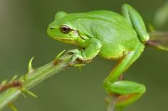 Image result for Laubfrosch