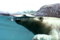 Como's new Polar Bears