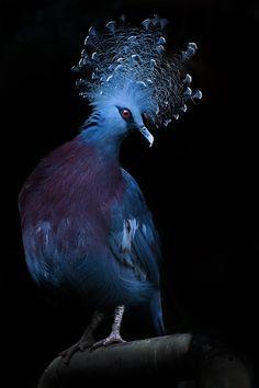 Punk!,crowned pigeon