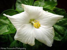 White Lily !