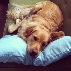 Goldens love their pillows!  ~ yes... yes, they do!!  <3