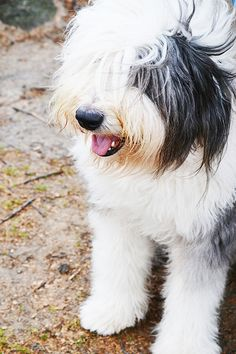 twiggy dog, old English sheepdog