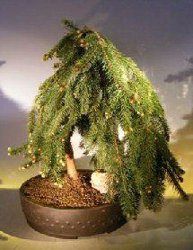 Bonsai Boy's Dwarf Weeping Norway Spruce Bonsai Tree picea abies 'glauca pendula'.  35 years old.  $250.00