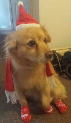 My Santa dog