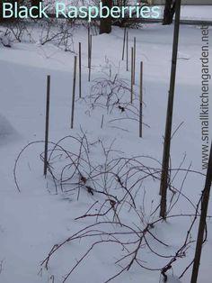 Black raspberry brambles in snow