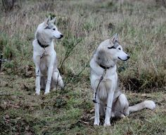 Siberian Huskies on the Stake Out Line