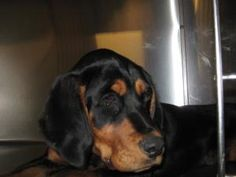 Ludwig is an adoptable Bloodhound Dog in Allegan, MI. This is Ludwig. He is currently on a stray hold till If his owner does not claim him he is available for adoption on What a big . Bloodhound Dogs, Beagle, Hound Breeds, Red Bone, Lost & Found, Dachshund, Cute Puppies, Michigan, Dog Cat