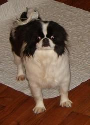 Adopt Paris Adopted On Japanese Chin Dog Japanese Chin Adoption