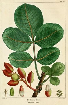 Pistachio tree (Pistacia vera)
