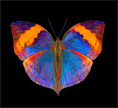 beautiful blue & orange - ©Lori Sash-Gail - http://lorisash-gail.com/butterflies.html#