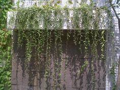 Jual pohon lee kwan yew | berbagai macam jenis tanaman hias merambat | supplier aneka tanaman hias | RIZKI TAMAN info:081519198697