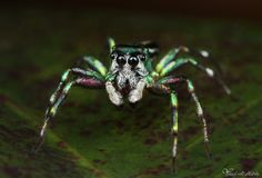 Metallic Jumping Spider by Yousef Al Habshi on 500px