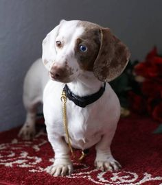 Lovely piebald dachshund what how many colors and styles do u guys come in.simply fantastic love U doxies Miniature Dachshund Breeders, Piebald Dachshund, Dachshund Puppies For Sale, Dachshund Funny, Mini Dachshund, Cute Puppies, Cute Dogs, Miniature Husky, Funny Dogs