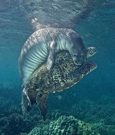 Rare interaction between a Hawaiian Monk Seal and a Green Sea Turtle