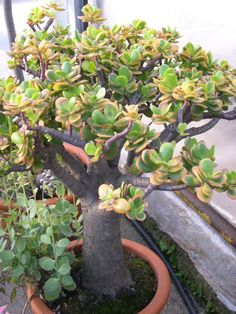 Crassula ovata `Hummel`s Sunset` Bonsai Pruning, Bonsai Garden, Planting Succulents, Dish Garden, Garden Pots, Jade Bonsai, Crassula Ovata, Colorful Succulents, Jade Plants