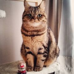 12 Cute Tiger Striped Cats of Instagram and Their Tales | CBWP
