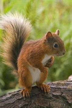 Calendarios y tarjetas - Simon Fraser Photo - Eichhörnchen - Animale Animals Of The World, Animals And Pets, Baby Animals, Funny Animals, Cute Animals, Wild Animals, Squirrel Art, Cute Squirrel, Squirrels