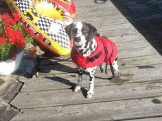 bentley is my loving dalmation, modelling his life jacket !