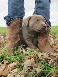 Silver lab puppy Avery Cute Puppies, Dogs And Puppies, Doggies, I Love Dogs, Puppy Love, Silver Lab Puppies, Silver Labs, Labrador Retrievers, Service Dogs
