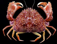 Two-horned Box Crab