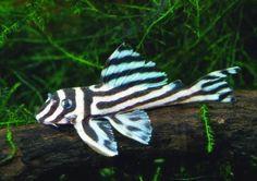 L 046 Hypancistrus Zebra / Pantsermeerval Zebra